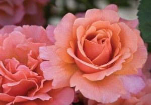 Easy Does It™  -  Floribunda  heirloomroses.com