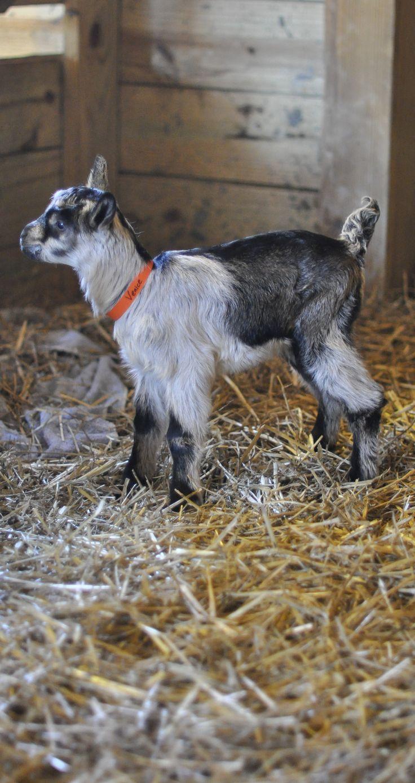 46 Best Images About Goat Milk Soap On Pinterest