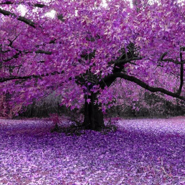 All things purple---Beautiful Redbud??? - CompareTopTravel.com #favorite color