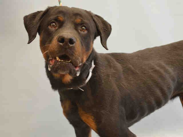 SAFE 1-19-2016 by Rebound Hounds Manhattan Center JACK – A1062893  MALE, BLACK / RED, ROTTWEILER, 5 yrs OWNER SUR – EVALUATE, NO HOLD Reason LLORDPRIVA Intake condition EXAM REQ Intake Date 01/14/2016