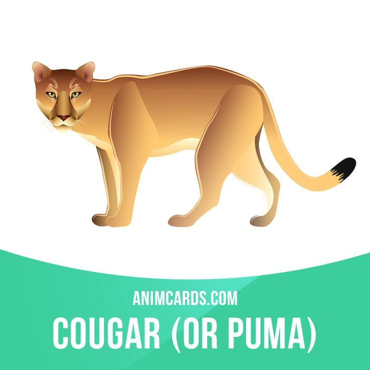 The cougar, which is also commonly referred to as a puma, mountain lion or panther, is the second largest cat in North America. Unlike other big cats, however, the cougar cannot roar. Instead, the large feline purrs like a house cat. #english #englishlanguage #learnenglish #studyenglish #language #vocabulary #dictionary #englishlearning #vocab #animals #cougar #puma #mammals #cat #cats