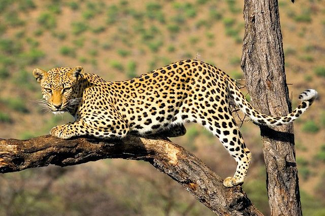 The leopard often rests up in the trees and its long tail aids it to balance in narrow branches. The leopard is the most arboreal (tree dwelling) of the big cats.