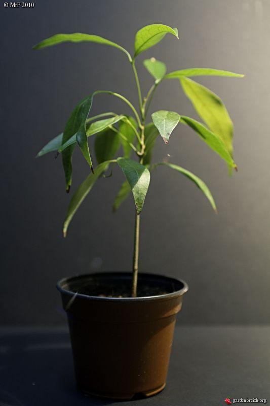 17 meilleures id es propos de pots de plantes d - Faire pousser citronnier ...