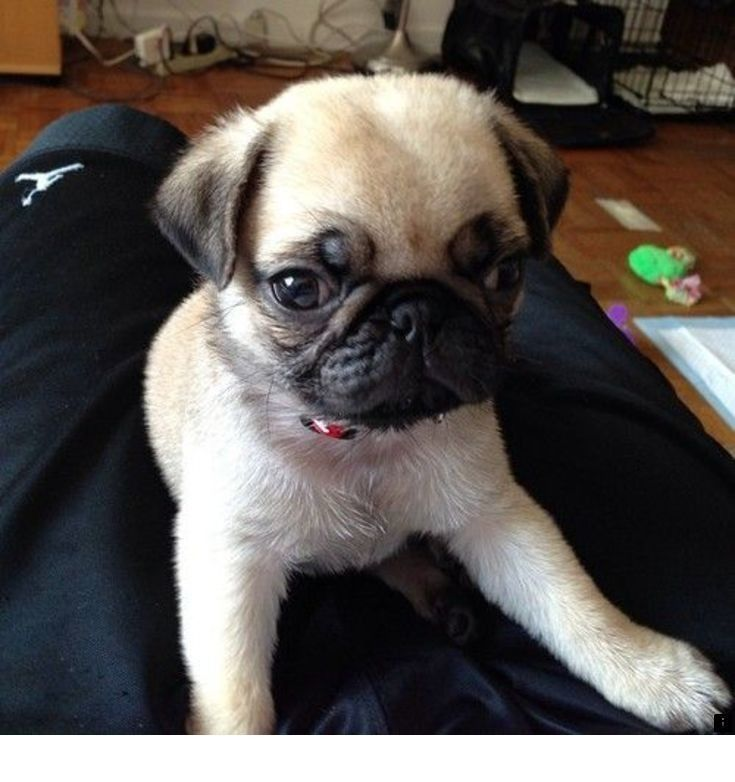 Find Out About Pug Puppies Price Click The Link For More Info The