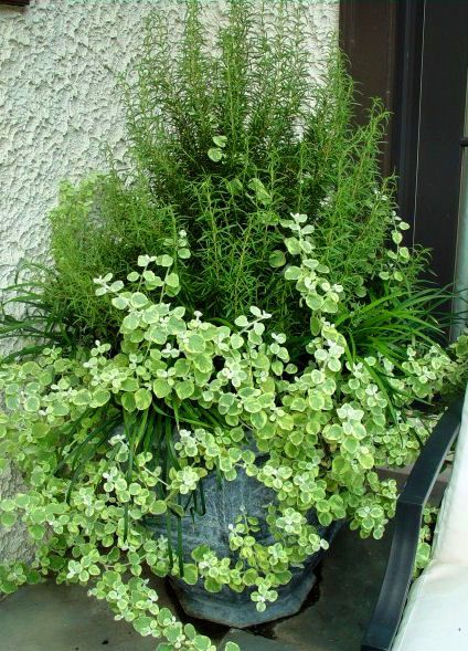 Rosemary, lemongrass, variegated licorice vine