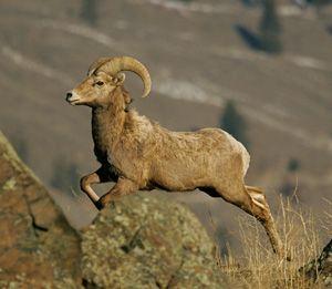 Okanogan Country :: Birdwatching & Wildlife Viewing