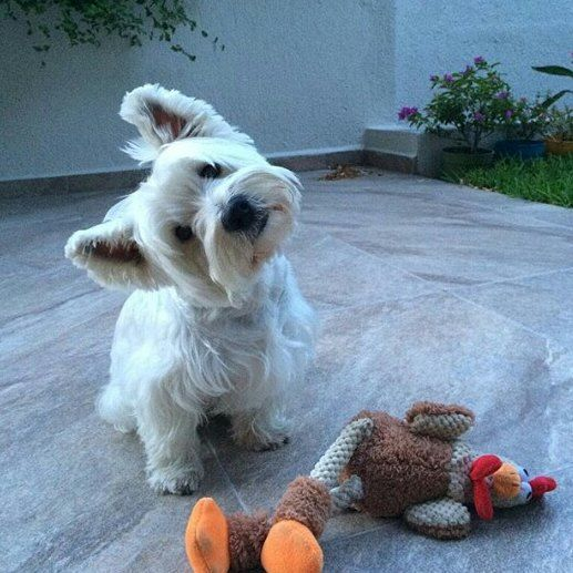 What did you say? Repost from @gregoryandnicolas #westie ...