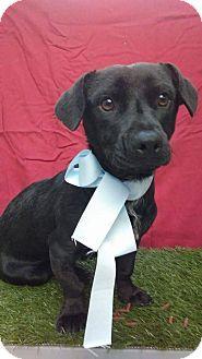 Irvine, CA - Corgi Mix. Meet CODY, a puppy for adoption. http://www.adoptapet.com/pet/17493099-irvine-california-corgi-mix