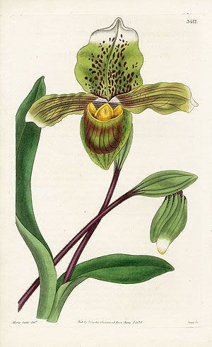 William Curtis Botanical Orchid Prints 1787-1826:
