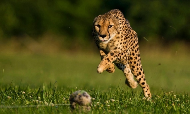 What a fantastic picture of  cheetah at full speed! Eat your heart out Usain Bolt!!