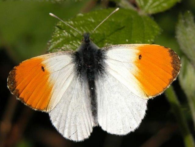 Afbeeldingsresultaat voor witte vlinders in nederland