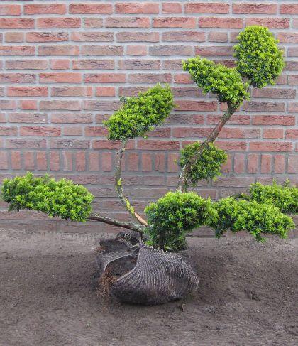 Taxus Bonsai snoeivorm 80CM hoog