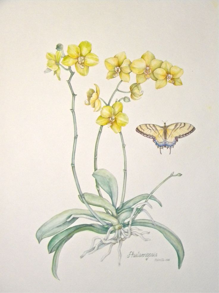 Yellow Phalaenopsis, watercolor by Mireille Belajonas, 2014