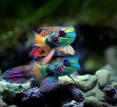 Saltwater gobies under the sea pinterest beautiful for Saltwater goby fish