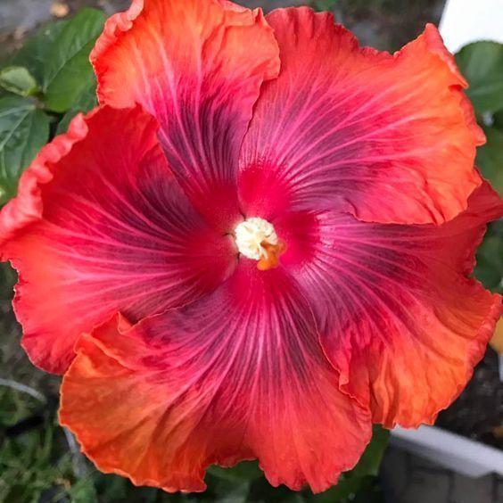 10 Rare Red Orange Hibiscus Seeds Garden Tropical Perennial Flower