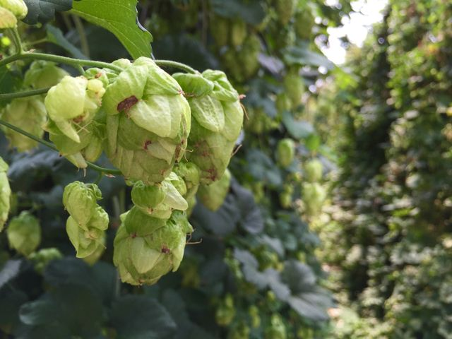 """""""At Hydro Hop Farms, farmers aim to produce something unique for Colorado brewers"""" by Cory Reppenhagen and Matt Makens, Channel 7 News Denver - August 27, 2015 @thedenverchannel #7news #hopsreport #7news #hydroponic #hydroponichops #freshhops"""