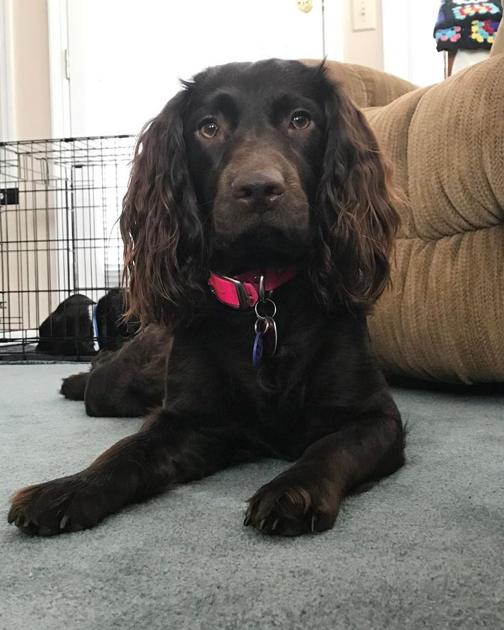 Boykin Spaniel Pup ~ Classic Look