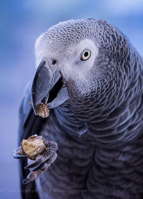 grey parrot enjoying  chocolate