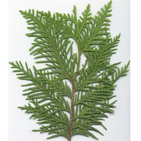 cedar leaf - Google Search