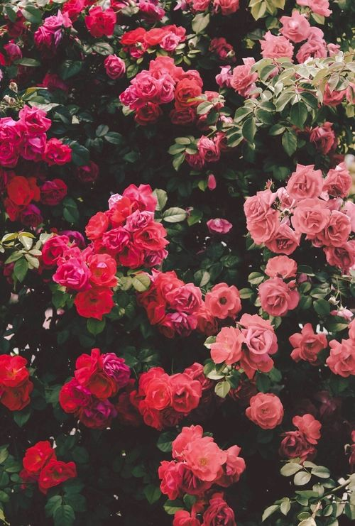 iubesc trandafirii