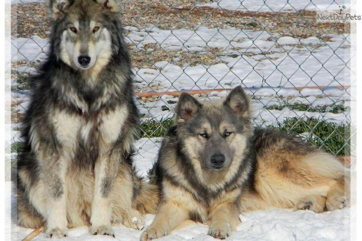 Wolamutes. Alaskan Malamute and timber wolf mix.   D'awwww ...  Husky Malamute Wolf Mix
