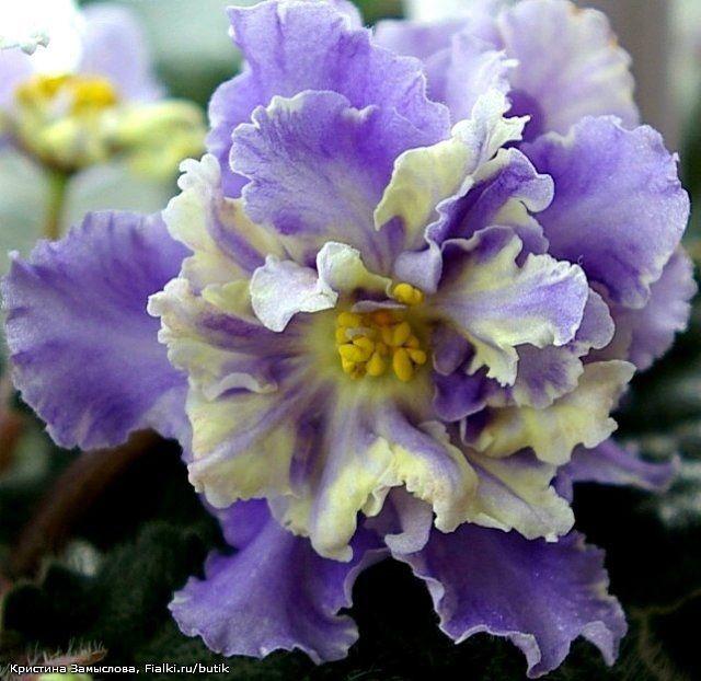 """African Violet """"RS-Jar Ptitza"""" Russian/Ukrainian variety"""