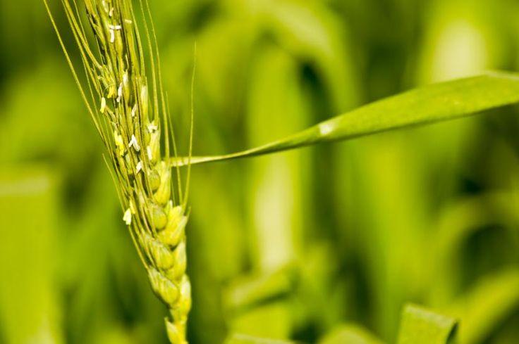 9 Benefits of Barley Green Grass