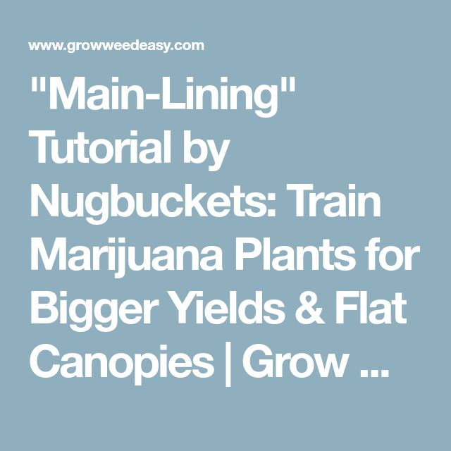 """Main-Lining"" Tutorial by Nugbuckets: Train Marijuana Plants for Bigger Yields & Flat Canopies 
