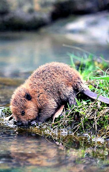 Adorable baby beaver having a sip of water
