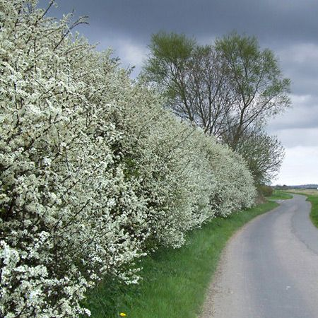 """""""More familiar to many as the Sloe, from its large fruits ripening in late autumn, Blackthorn is an important native deciduous shrub often seen growing wild in the countryside. A densely spiny suckering shrub, it makes one of the best stock-proof hedges and forms an essential part of wildlife hedges. Its snowy white blossom appears in very early spring before the leaves and is followed in late autumn by the purplish-black fruits."""""""