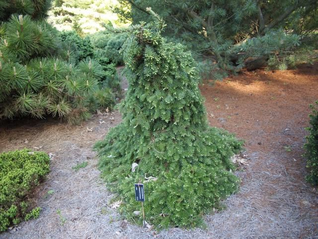 Need an Evergreen Tree? Check Out These 12 Fir Tree Species: Noble Fir