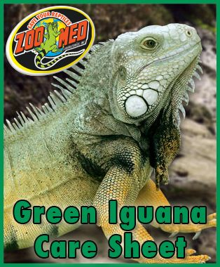 Check out Zoo Med's custom Care Sheet for Green #Iguanas. Find more Care Sheets available on our website.