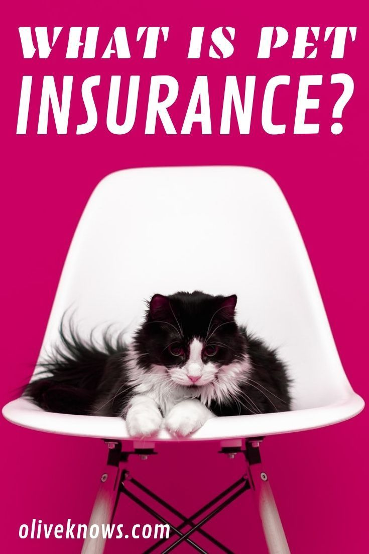 What You Need To Know About Pet Insurance Pet Insurance Cat