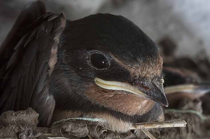 9 day old baby swallow