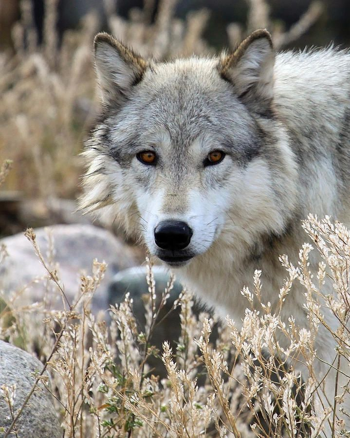 Let Me Be. Save the Wolves.