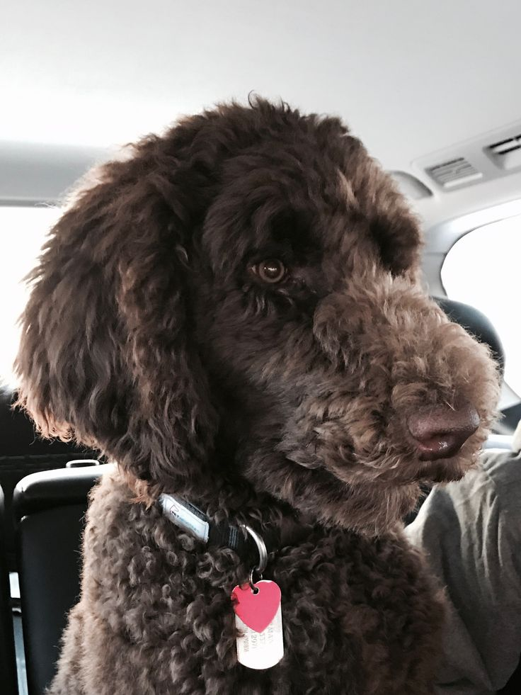 Pin On Standard Poodle Haircuts