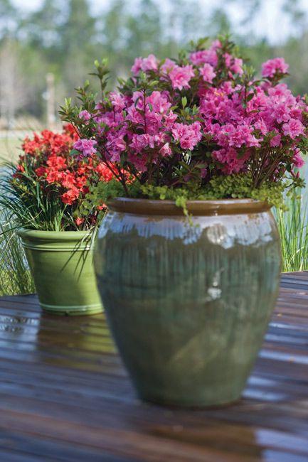 Best 25+ Azaleas Landscaping Ideas On Pinterest