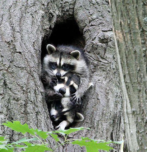 Raccoon Family by Hard-Rain, via FlickrAnimal Pics, Racoon Families, Raccoons Families, Critter, Three Musketeers, Animal Kingdom, Creatures, Baby Animal, Adorable Animal