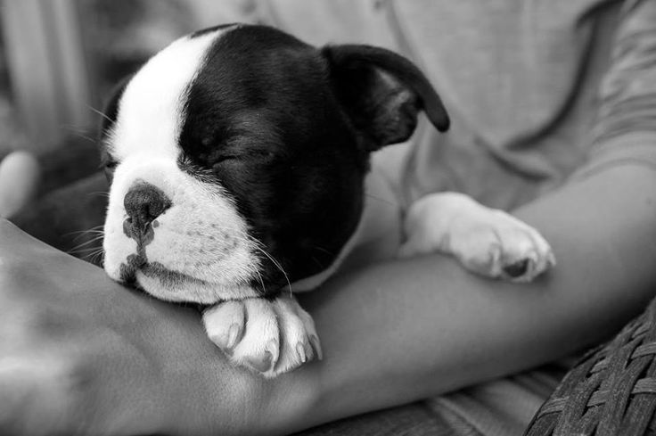 Boston Terrier Puppy Sleeping on Human Arms