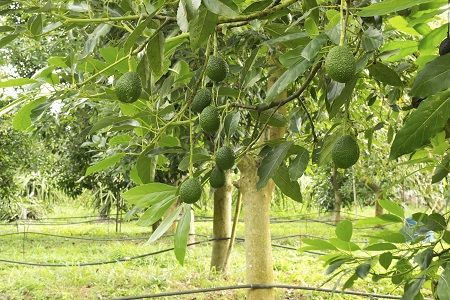 Hass Avocado Trees for Sale   Fast Growing Trees
