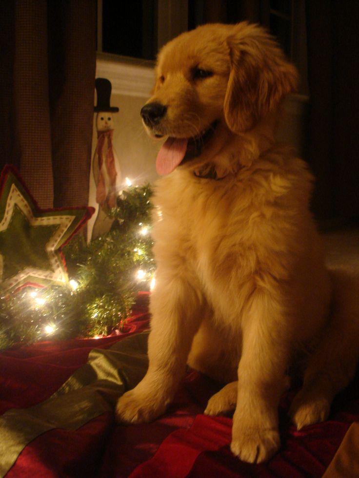 311 best Puppies images on Pinterest   Golden retrievers, Golden ...