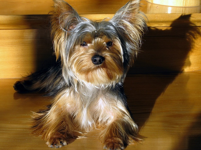 silky terrier hypoallergenic 17 best ideas about breeds of small dogs on pinterest 6318