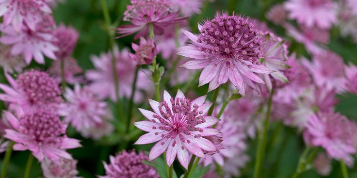 Known as a perennial for the herbaceous border, astrantia grows in damp ground at the edge of woodland in the wild and will do best in similar garden conditions. A moisture-retentive soil is essential for it to grow well.