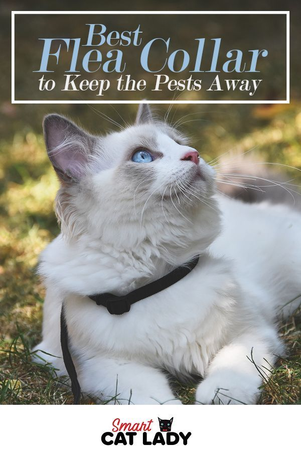 Best Flea Collar For Cats To Keep The Pests Away Cat Has Fleas Cat Fleas Cat Flea Collar