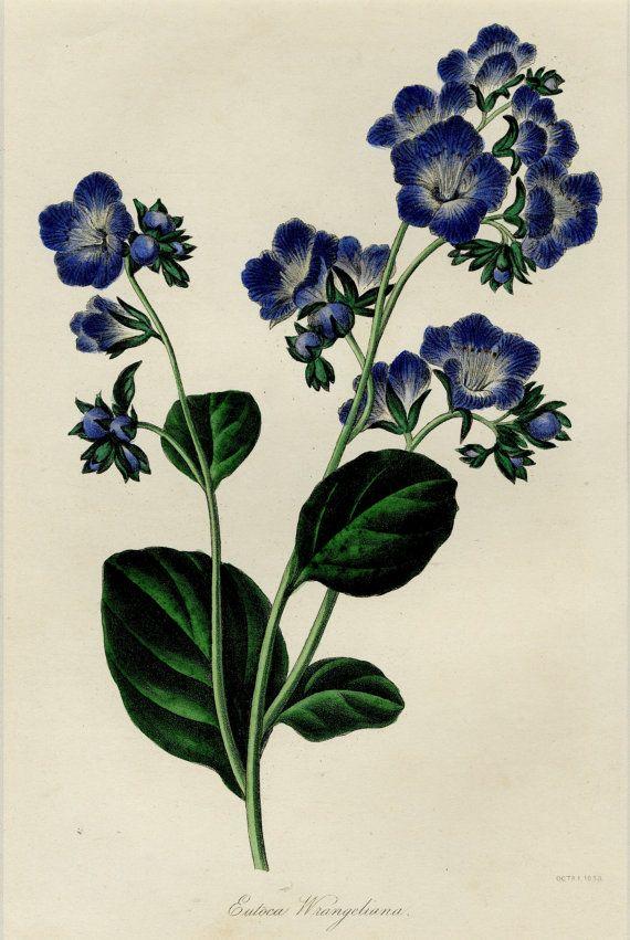1836 Rare Blue Flower Antique Botanical by AntiquePrintBoutique