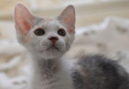 Schildpattkatze La Perm Kätzchen