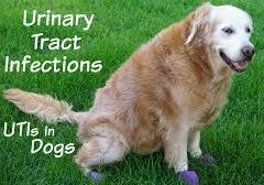 Urinary Tract Infection UTI in dog