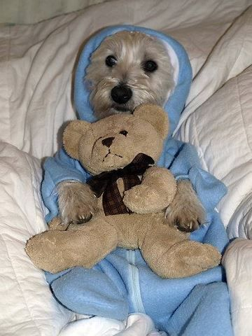 Bella - this is just wrong!! :) #westie #piggy jim jams  This is just so cute!!!  I love dogs. They are so patient!!!!