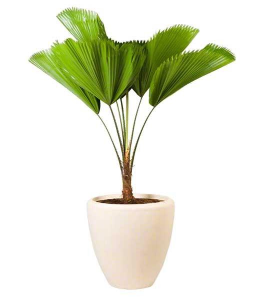 Grote planten in pot | Chicplants