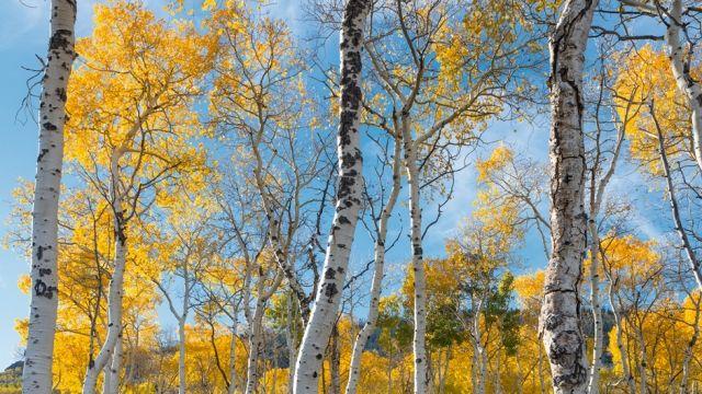Pando Die Zitterpappel Kolonie In Utah Natur Utah Baum Lebewesen